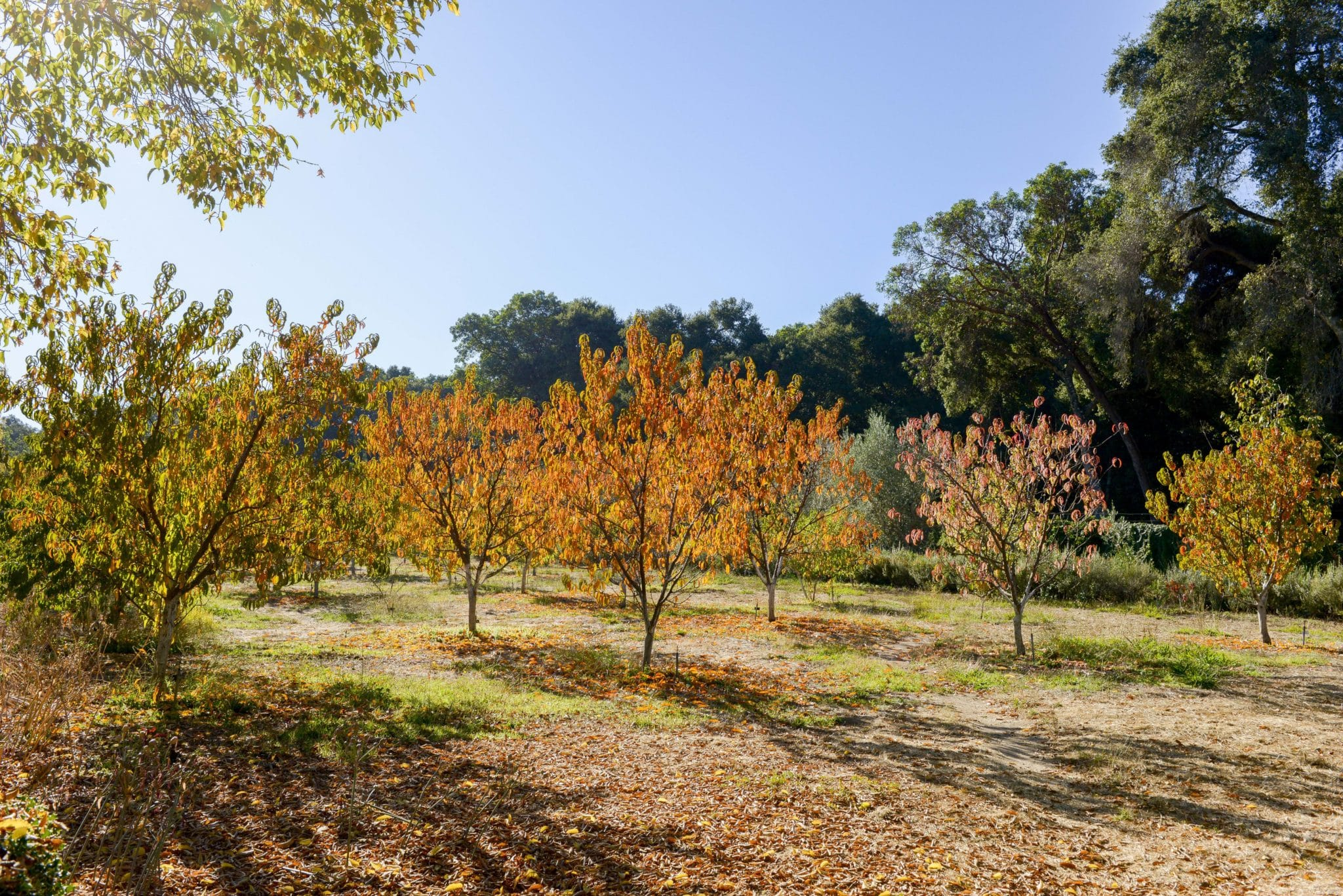 Take in gorgeous fall colors and the exquisite autumn light of Filoli's Gentleman's Orchard.