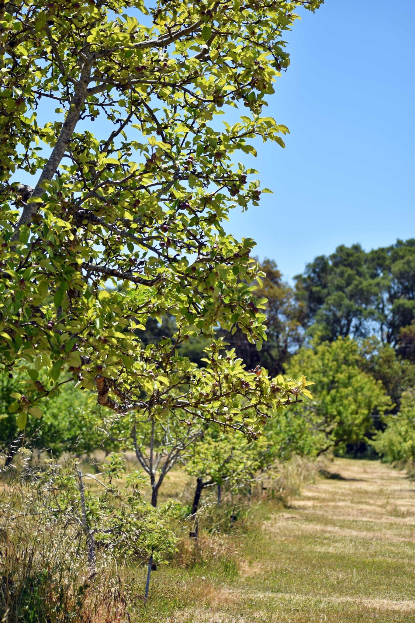 Looking Down An Orchard Path