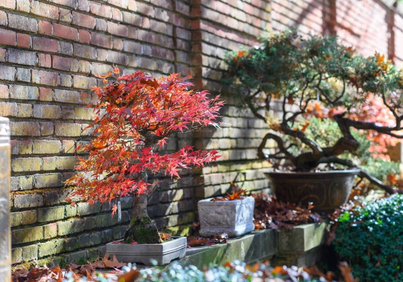Japanese maple and juniper bonsai at Filoli (photo by Jeff Bartee)